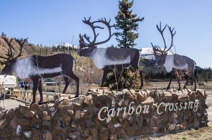 http://www.rogerjett-photography.com/here/wp-content/gallery/caribou-crossing/P5211992.jpg